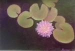 Beech Forest Waterlily #2